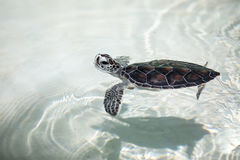 Tartaruga del bambino in uno stagno Fotografia Stock Libera da Diritti