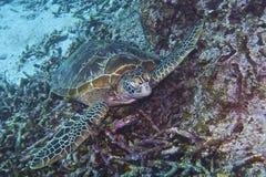 Tartaruga del bucero fuori dall'isola di Balicasan, Filippine Immagine Stock Libera da Diritti