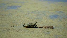 Tartaruga del Cooter immagini stock libere da diritti