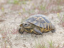 Tartaruga del dente cilindrico-Thighed o tartaruga greca (ibera di graeca del testudo) Immagini Stock