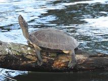 Tartaruga del fiume che riposa sul ramo di albero caduto immagine stock libera da diritti