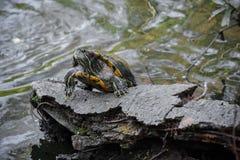 Tartaruga del Giappone sul tronco in lago Fotografia Stock Libera da Diritti
