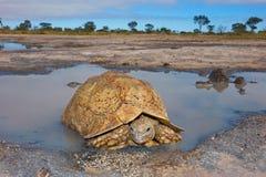 Tartaruga del leopardo Immagine Stock