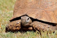 Tartaruga del leopardo che dà una occhiata dalle sue coperture Immagini Stock