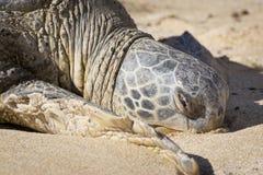 Tartaruga del nord dell'Hawai della riva Immagine Stock