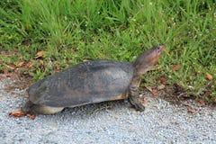Tartaruga del softshell di Florida Fotografia Stock