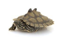 Tartaruga del sud del programma del Nero-Perno Fotografie Stock Libere da Diritti