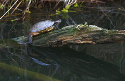 Tartaruga dell'acqua Immagini Stock Libere da Diritti