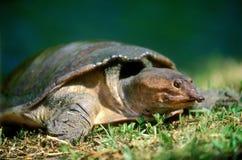 Tartaruga della Florida Softshell Immagini Stock