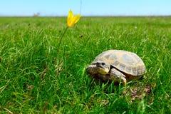 Tartaruga della steppa fotografia stock