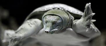 Tartaruga delle morbido-coperture della Florida Immagine Stock