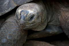 Tartaruga dello sbarco Fotografie Stock