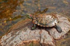 Tartaruga dello stagno Immagini Stock Libere da Diritti