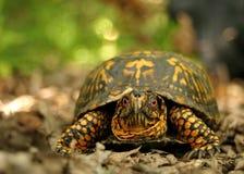 Tartaruga di casella Fotografia Stock Libera da Diritti