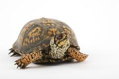 Tartaruga di casella Immagine Stock