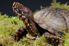 Tartaruga di casella Immagini Stock Libere da Diritti