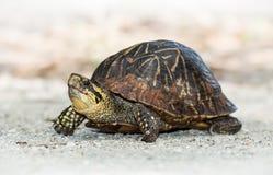 Tartaruga di casella della Florida (bauri della Carolina del Terrapene) Fotografia Stock Libera da Diritti
