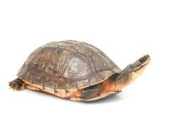 Tartaruga di casella dorata cinese della moneta Immagine Stock