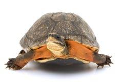 Tartaruga di casella dorata cinese della moneta Fotografia Stock Libera da Diritti