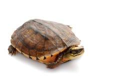Tartaruga di casella dorata della moneta Fotografie Stock Libere da Diritti