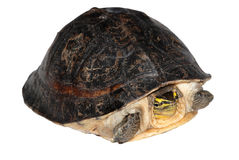Tartaruga di casella malese fotografia stock
