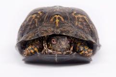 Tartaruga di casella su priorità bassa bianca Fotografie Stock