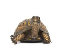 Tartaruga di casella su una priorità bassa bianca Immagine Stock