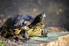 Tartaruga di Chillin su una roccia fotografie stock libere da diritti