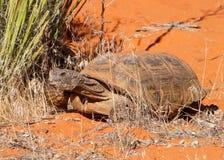 Tartaruga di deserto, agassizi del Gopherus Fotografia Stock Libera da Diritti