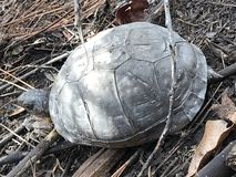 Tartaruga di fango immagini stock libere da diritti