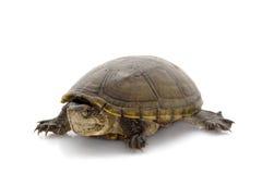 Tartaruga di fango della Florida Fotografia Stock Libera da Diritti