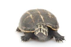 Tartaruga di fango Tre-A strisce fotografia stock libera da diritti
