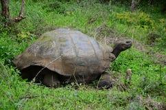Tartaruga di Galapagos Immagine Stock
