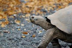 Tartaruga di Galapagos del gigante, nigra di Chelonoidis, nella camminata di profilo Fotografia Stock