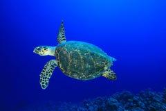 Tartaruga di Hawksbill Immagine Stock