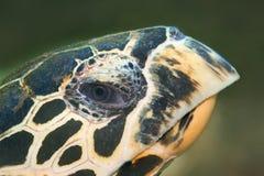 Tartaruga di Hawksbill Immagine Stock Libera da Diritti