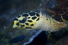 Tartaruga di Hawksbill Fotografie Stock