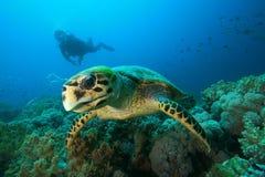 Tartaruga di Hawksbill ed operatore subacqueo di scuba Fotografia Stock