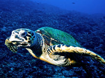 Tartaruga di Hawksbill (imbricata del Eretmochelys) Immagine Stock Libera da Diritti