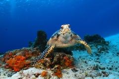Tartaruga di Hawksbill (imbricata del Eretmochelys) ed operatore subacqueo Fotografia Stock