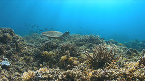 Tartaruga di Hawksbill su una barriera corallina Fotografia Stock Libera da Diritti