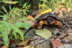 Tartaruga di legno Immagini Stock