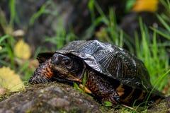 Tartaruga di legno Fotografie Stock