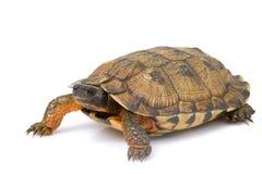 Tartaruga di legno nordamericana Immagine Stock Libera da Diritti