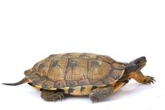 Tartaruga di legno nordamericana Fotografia Stock