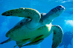 Tartaruga di mare Fotografie Stock Libere da Diritti