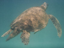 Tartaruga di mare Immagini Stock