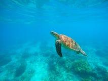 Tartaruga di mare in acqua Animali di mare tropicali della laguna della foto subacquea della tartaruga verde Immagine Stock Libera da Diritti