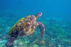 Tartaruga di mare in acqua blu Foto subacquea esotica della tartaruga marina Animale oceanico in natura selvaggia Attività di vac fotografia stock libera da diritti