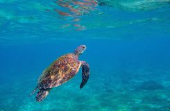 Tartaruga di mare in acqua blu Foto subacquea pericolosa della tartaruga marina Animale oceanico in natura selvaggia fotografie stock libere da diritti
